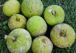 Breadfruit (Bag:40Lbs)